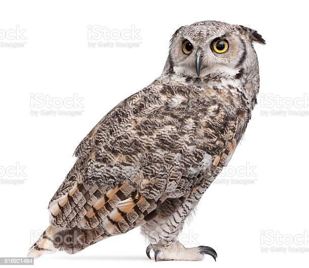 Great horned owl bubo virginianus subarcticus picture id516921484?b=1&k=6&m=516921484&s=612x612&h=2m5eoamif6wipb6qi5tqytf3ijcmhlhs hk uguo 1i=
