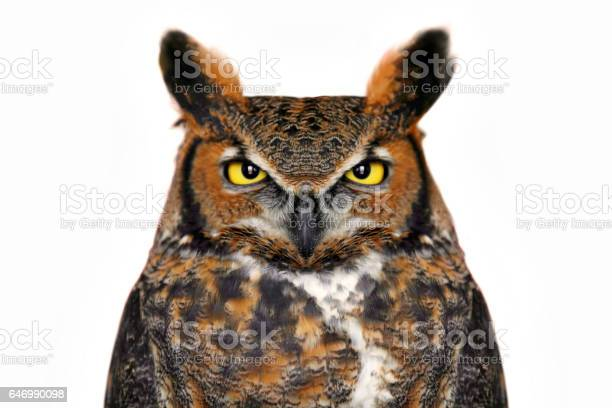Great horned owl close up isolated on white picture id646990098?b=1&k=6&m=646990098&s=612x612&h=fdue w neniywpsr9ffdrlmsyrsgbbbxxh4ud1xhycu=