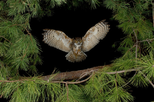 Great Horned Owl, with wings spread out about to land accurately on a forest branch