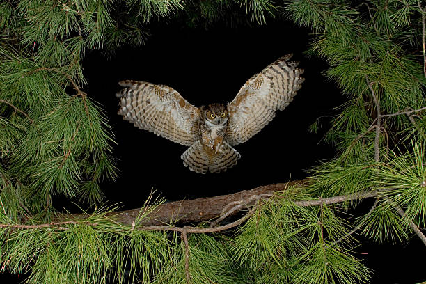 great horned owl flying at night - owl stock photos and pictures