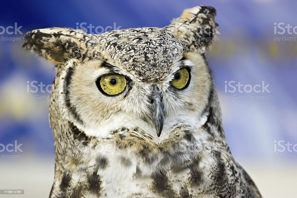 Great Horned Owl Head Close-Up stock photo