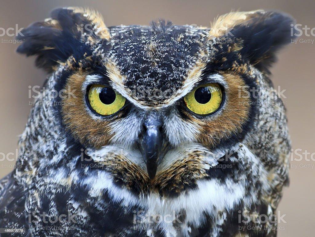 Great Horned Owl Head Shot stock photo