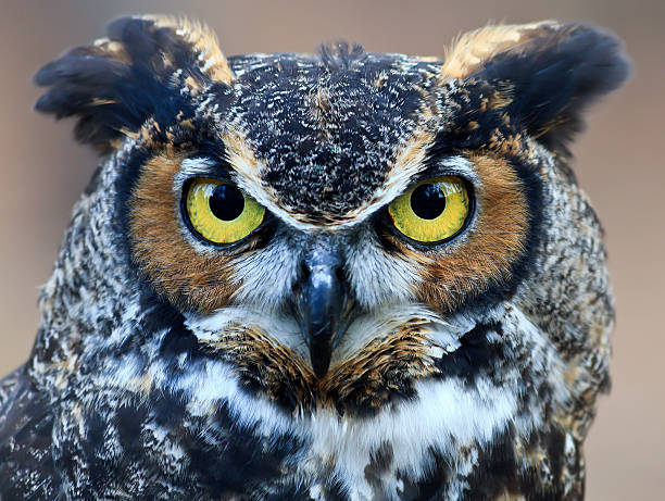 great horned owl head shot - amerikaanse oehoe stockfoto's en -beelden