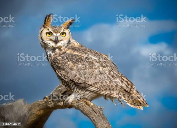Great horned owl in sonoran desert daytime picture id1164594497?b=1&k=6&m=1164594497&s=612x612&h=ddwltdzkal5e8tsfzvcu bl4poajuoized3fckd4ijw=