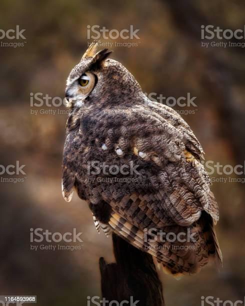 Great horned owl in sonoran desert daytime side view picture id1164593968?b=1&k=6&m=1164593968&s=612x612&h=jgrmkyiu1axd5ihoe9ggsukbgn7duh4na 8irfvgepw=