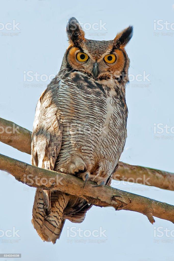 Great Horned Owl in Tree stock photo