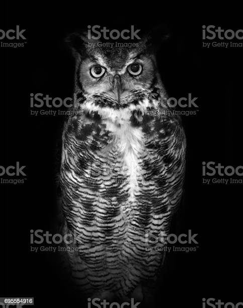 Great horned owl known by its scientific name bubo virginianus on picture id695554916?b=1&k=6&m=695554916&s=612x612&h=6i4ygtzvzoo69ccke5gxjydc7zwq99plqf4iy8v35q8=