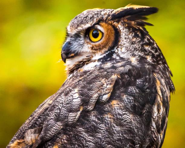 Great horned owl looking behind picture id1072305156?b=1&k=6&m=1072305156&s=612x612&w=0&h=7ufkfmtbe7nqygfglhxwld4qomjomxwttznx7xzft7e=