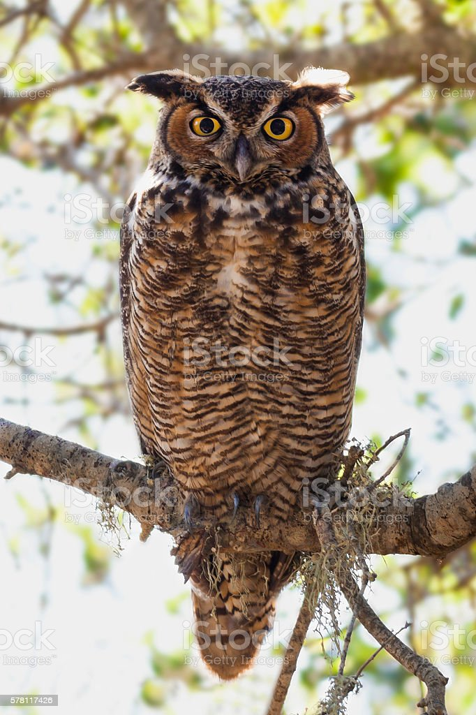 Great Horned Owl on a Branch in Forest stock photo