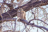 Great Horned owl alone with no nest in sight.