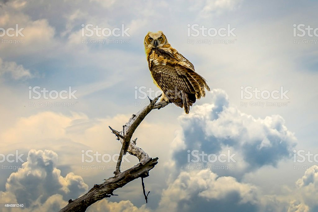 Great Horned Owl perched on dead tree stock photo