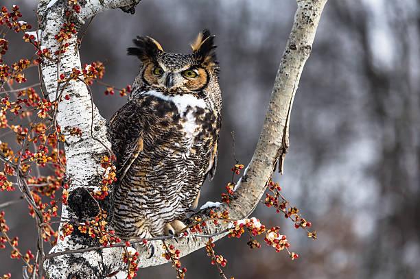 Great horned owl perching picture id470757125?b=1&k=6&m=470757125&s=612x612&w=0&h=porwe3gghrjhialncwo3aongfzk5ndkm ybb0nbzmle=