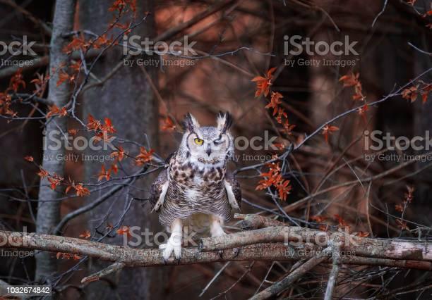 Great horned owl picture id1032674842?b=1&k=6&m=1032674842&s=612x612&h=lldfcyi0mtjomw5pcxrlgm17wwj0qjxp1u7asotv4to=