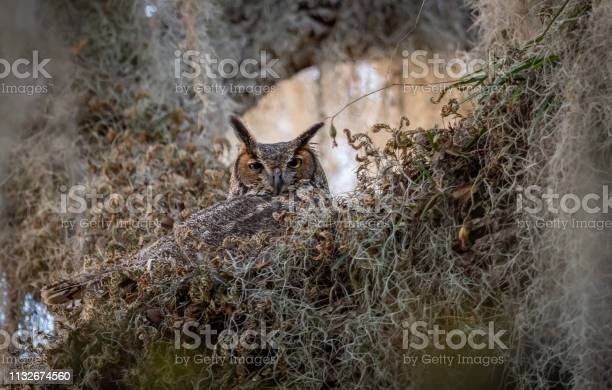 Great horned owl picture id1132674560?b=1&k=6&m=1132674560&s=612x612&h=ltv0zsq072cuklqaxgq h1wb1w2xrn  gp3jz1lf2oa=