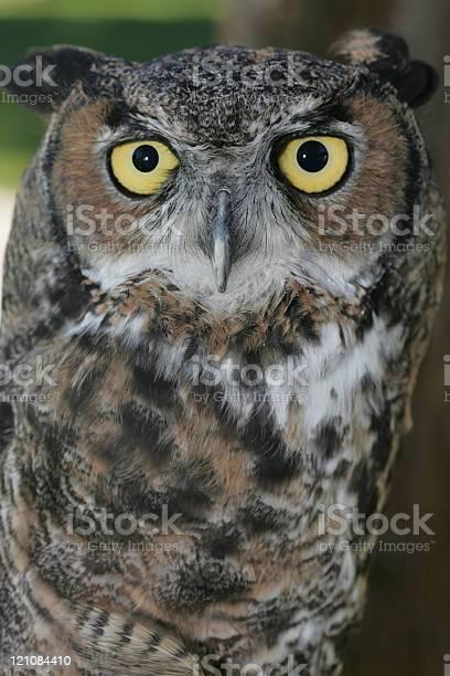 Great horned owl picture id121084410?b=1&k=6&m=121084410&s=612x612&h=6xlo02wghafqyaymwhokeiucywmedsgv85efo dqkvm=
