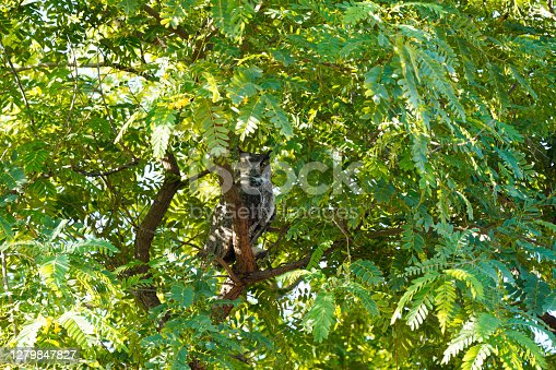 Great Horned Owl in the middle of green foliage