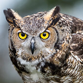 Great horned owl, bubo virginianus.