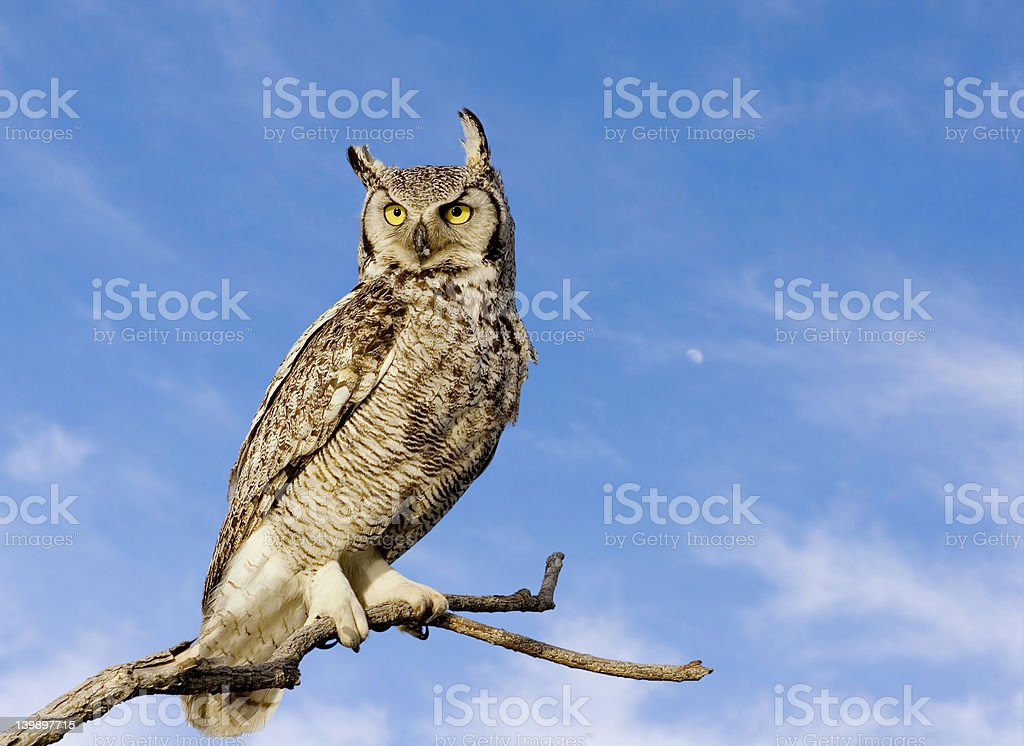 Great horned owl royalty-free stock photo