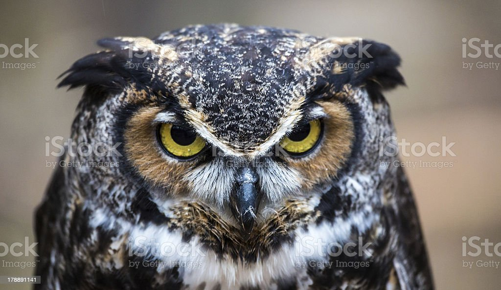 Great Horned Owl – Foto