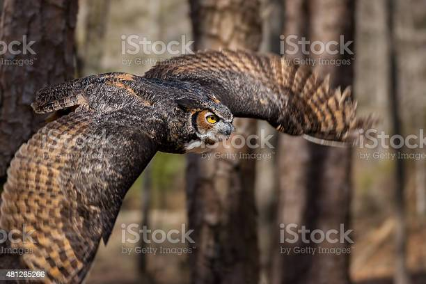 Great horned owl picture id481265266?b=1&k=6&m=481265266&s=612x612&h=b4a5ogtzhk2vnndmdqcioudjisr hz880umr5gu3rtg=