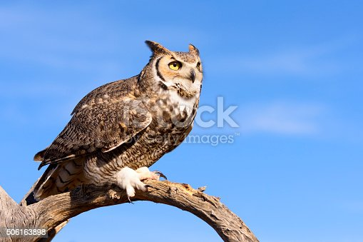 Great Horned Owl with blue sky background.