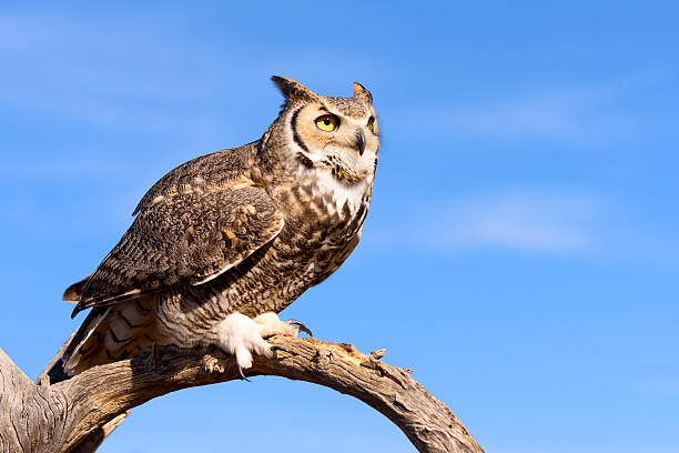 great horned owl - amerikaanse oehoe stockfoto's en -beelden