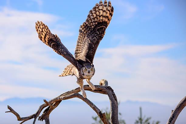Great horned owl picture id507304834?b=1&k=6&m=507304834&s=612x612&w=0&h=tzubm8xrdgggor1b0ser9kcalp39qpgfn8hk sqxe a=
