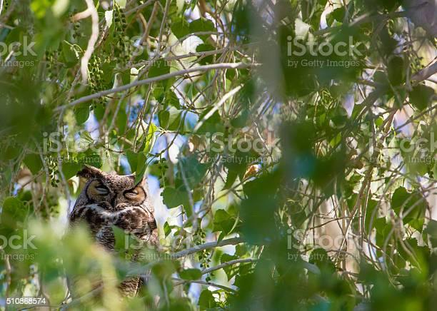 Great horned owl picture id510868574?b=1&k=6&m=510868574&s=612x612&h=zqdyfwarpji8iignyre ld h gwindfl2mwb y8m5jq=