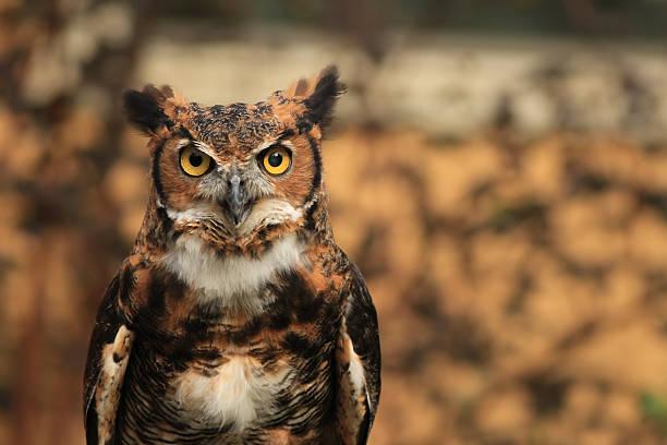 Great horned owl picture id610766246?b=1&k=6&m=610766246&s=612x612&w=0&h=pxo2nmb riqjrut86c tqkd2ukooqrhavz7bebjepfu=