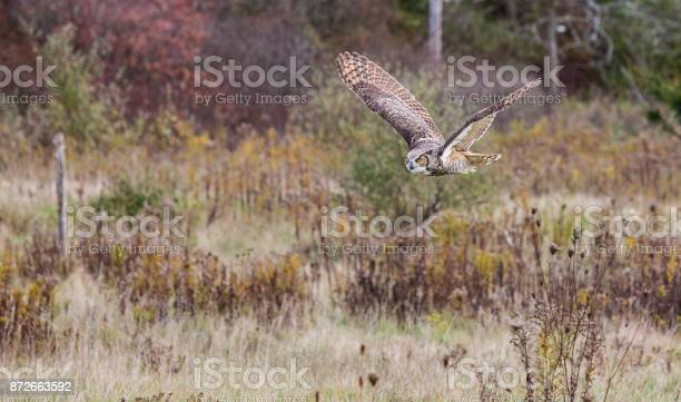 Great horned owl picture id872663592?b=1&k=6&m=872663592&s=612x612&h=o5wrk7yar0rezikpa3lmsycraeltcl6pj2sdssak21c=