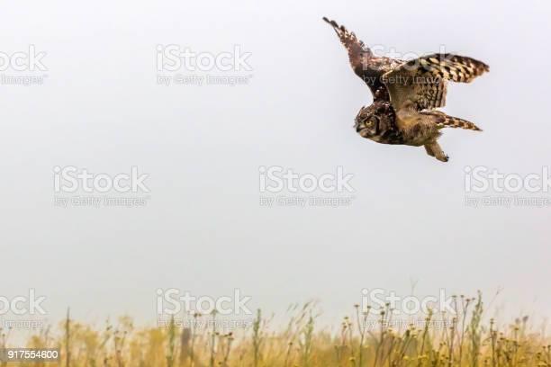 Great horned owl picture id917554600?b=1&k=6&m=917554600&s=612x612&h=m4itpimhkhnikphxgy4fumuxwkcpqemgc0zdgufk qa=