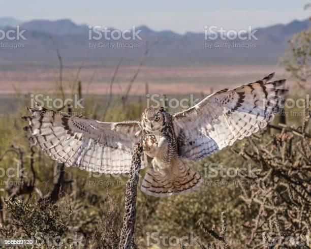 Great horned owl picture id958589120?b=1&k=6&m=958589120&s=612x612&h=fqua3qg00a55govoj27lnvjw8zqf sybcl47u qlz c=