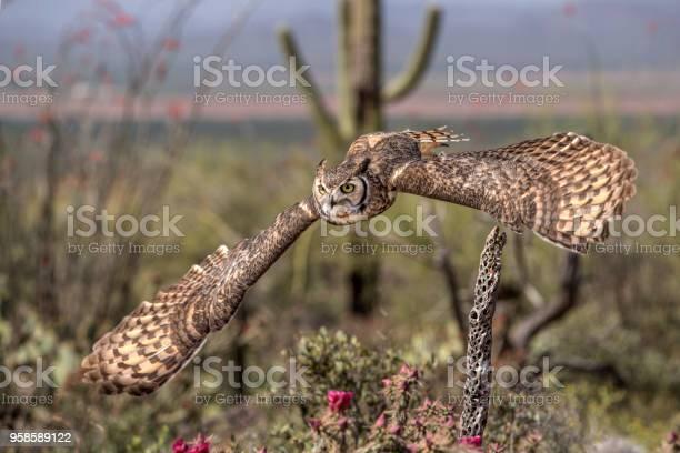 Great horned owl picture id958589122?b=1&k=6&m=958589122&s=612x612&h=zlqn mab6chq2eeumoeslz3bj2c4mvwbaimhwwre2ji=