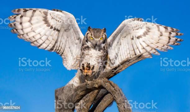 Great horned owl picture id965532504?b=1&k=6&m=965532504&s=612x612&h=fflbjxjshkqygncfuzah9jomoxelvu6vjaelmupjcsq=