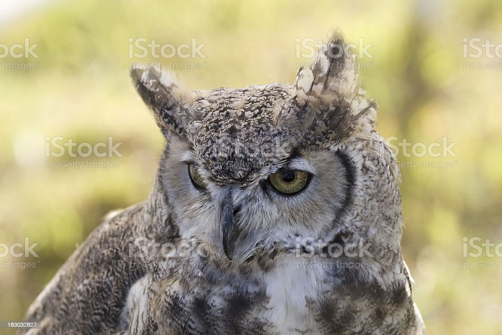 Great Horned Owl Portrait royalty-free stock photo