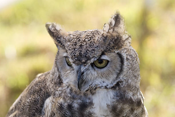 Great Horned Owl Portrait stock photo