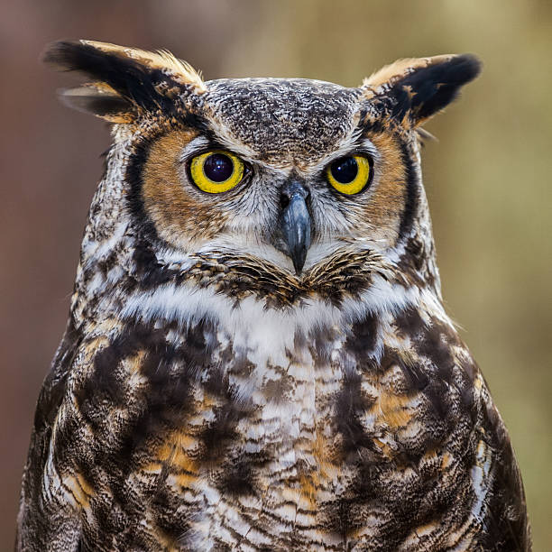 great horned owl portrait - amerikaanse oehoe stockfoto's en -beelden