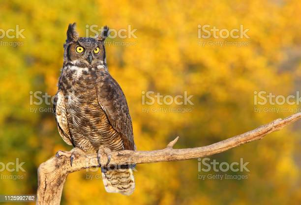 Great horned owl sitting on a stick picture id1125992762?b=1&k=6&m=1125992762&s=612x612&h=j nbatx5uod5tosdofs6pkdpznjdrtmyn6zh7k9boig=