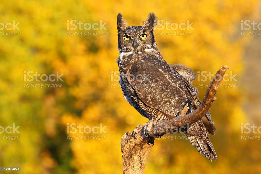 Great horned owl sitting on a stick stock photo
