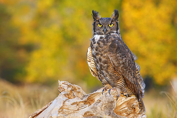 great horned owl sitting on a stump - amerikaanse oehoe stockfoto's en -beelden