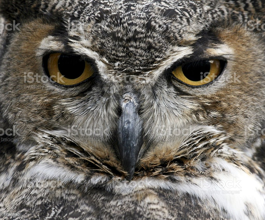 Great Horned Owl (Bubo virginianus) -- Stare Down stock photo