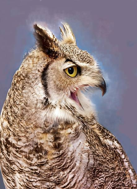 Best Screaming Owl Stock Photos, Pictures & Royalty-Free