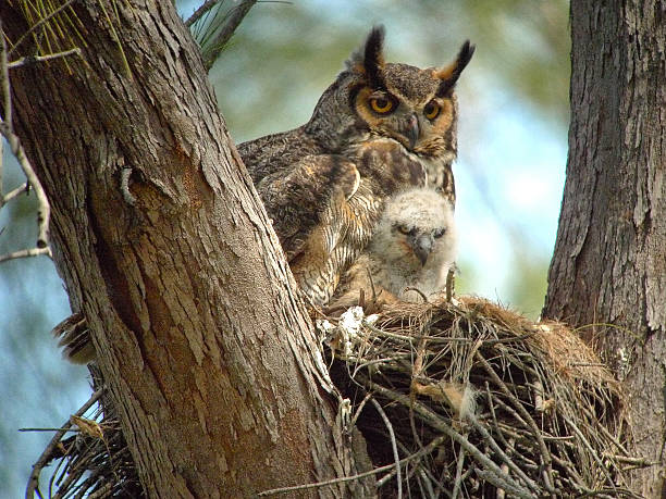 Great horned owl with baby owlet picture id493054434?b=1&k=6&m=493054434&s=612x612&w=0&h=ssfxwn26c8nne b rgty4zjz5qrirz9xqyky16ozpy4=