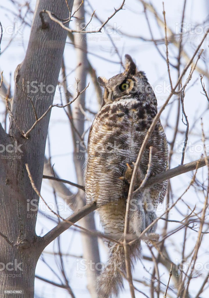 Great horned owl with prey royalty-free stock photo