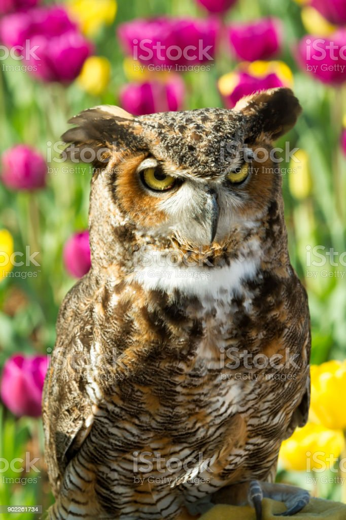 Great Horned Owl with Tulips in the Background stock photo