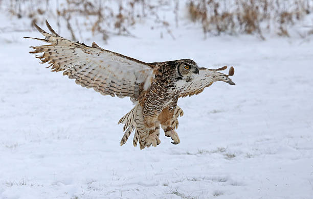 great horned owl with wings spread - amerikaanse oehoe stockfoto's en -beelden