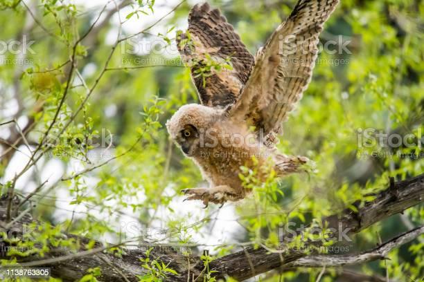 Great horned owlet fledging picture id1138763305?b=1&k=6&m=1138763305&s=612x612&h=snnfxgbrvudis04e3boajmtzs0wg8vlelln4twmvoci=