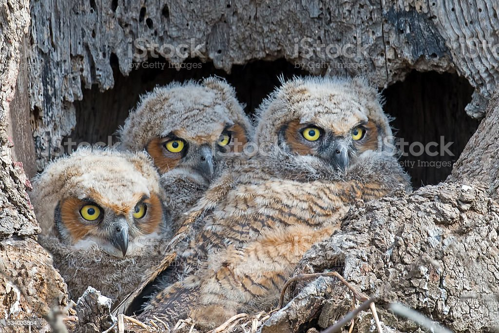 Great Horned Owlets in Nest stock photo