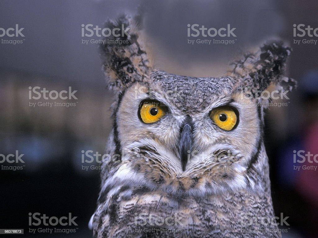 Great Horned owl.jpg royalty-free stock photo