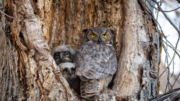 Great Horned Owls stock photo